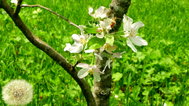 Background blooming of an apple tree. video