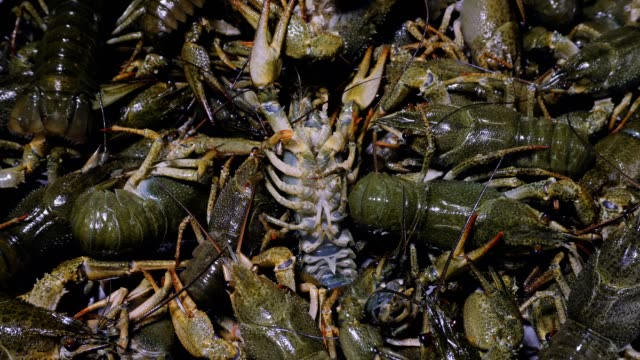 Background of the heap of live crawfish. video