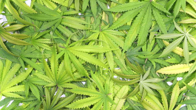 Background Texture of Marijuana Leaf Pile with Leaves Falling from Trimming Cannabis Plant video