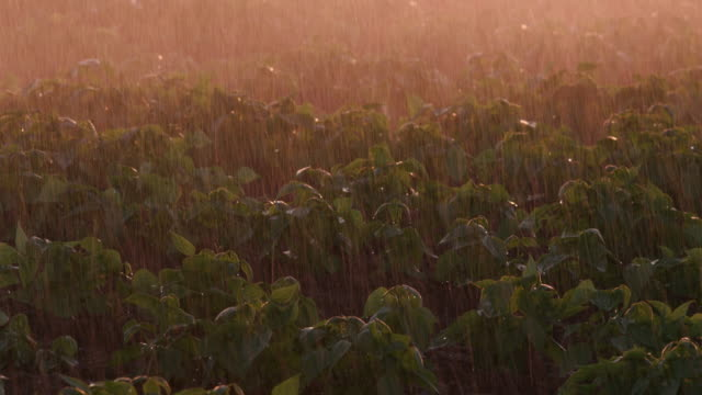 Backlit close-up of large scale commercial vegetable farm crops being irrigated video