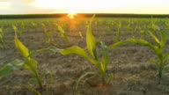 HD DOLLY: Backlit Corn Plants In Spring video