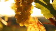 HD DOLLY: Backlit Grape Bunch video