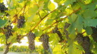 HD DOLLY: Backlit Muscat Grapes Hanging From Vine video