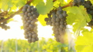 HD DOLLY: Backlit Muscat Grapes In Vineyard video