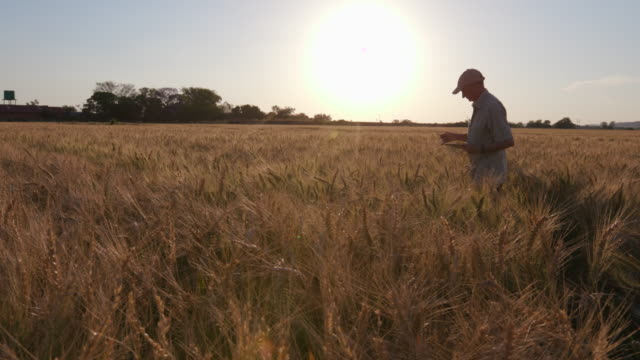 Backlit shot of farmer walking through a wheatfield checking crops with a tablet video