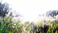 Backlit Shot of the Grass in the Wind During Sunset video