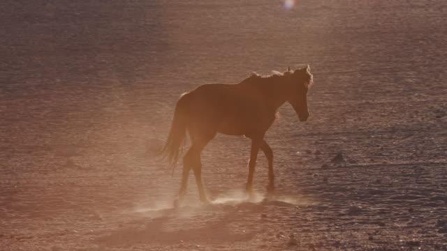 4K backlit shot of wild horses walking through desert landscape video