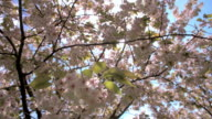 Backlit spring cherry blossom in a London park video