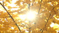 Backlit Trembling Autumn Leaves video