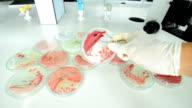 Bacteria colony on pedri dish video