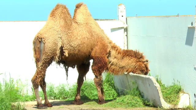 Bactrian camel in corral eating from bird feeders video