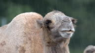 Bactrian camel (Camelus bactrian) in the rain video