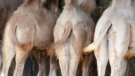 Bactrian camels video