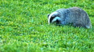 Badger Searching For Food On The Grassy Field video