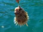 Baja fishing Porcupinefish 01 video