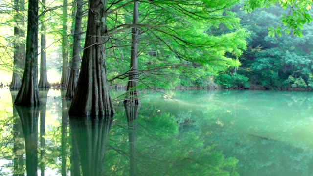 Bald cypress with green leaves in morning sunlight. Panning shot video