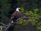 bald eagle 01 video