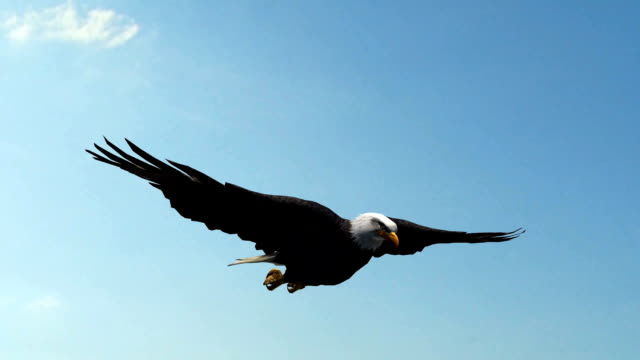 Bald Eagle Flight in the sky - Close-Up video