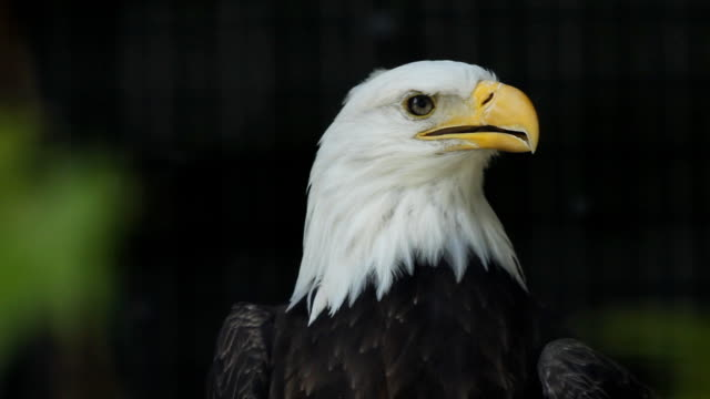 Bald eagle in cage. video