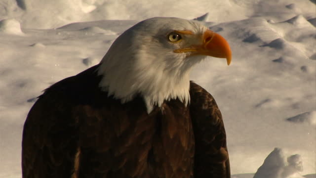 bald eagle in the snow video