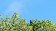 Bald Eagle is Attacked, Repeatedly Dive-bombed by Crazy Crow video
