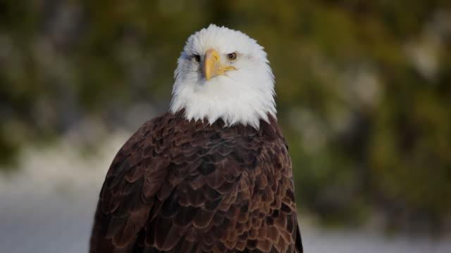 bald eagle medium shot video