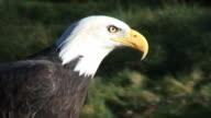 Bald Eagle tight shot, calls out inc. audio video