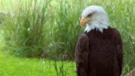 Bald Eagle video