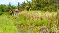 SLO MO Balinese Farmer Working On Rice Field video