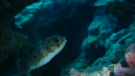 Balloonfish hiding in coral reef video