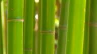 Bamboo closeup. video