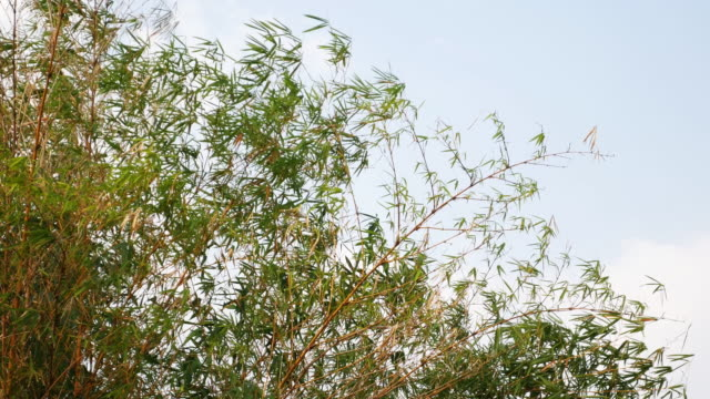 Bamboo forest blowing in the Wind video