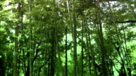 Bamboo forest in East Asia video