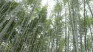Bamboo forest video