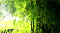 Bamboo video
