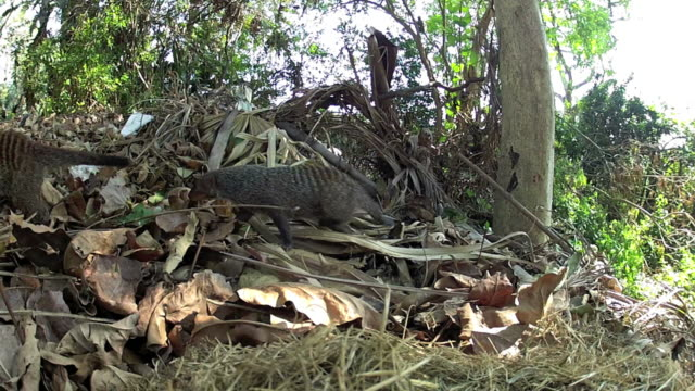 Banded mongoose come out their nest video