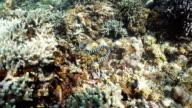 Banded Sea Snake video