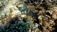 Banded Sea Snake video