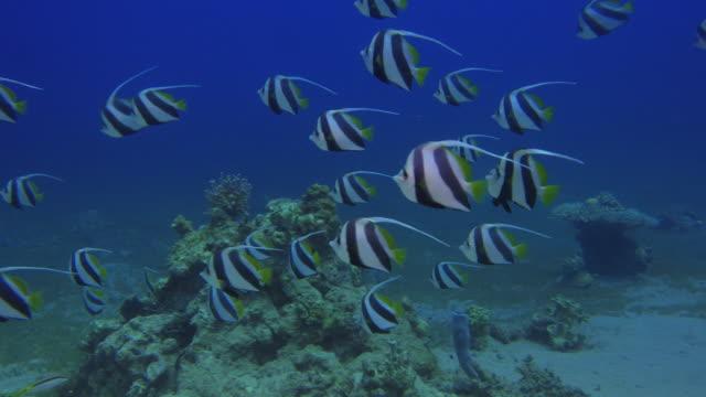 banner fish video