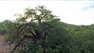 Baobab Tree, Limpopo Province, South Africa video