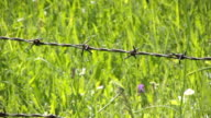 Barb wire video