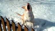 Barking dog in snow at fence - slow-motion version video