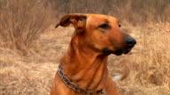 barking dog video