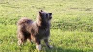 barking sheep dog video