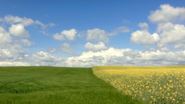 Barley and Oilseed Rape Field video