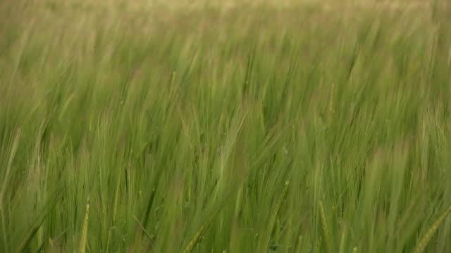 Barley, close-up HD video