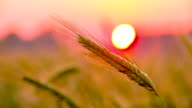 CU DS Barley Ear At Sunset video
