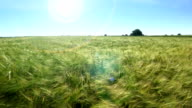 Barley field at spring sunshine video
