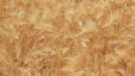 Barley Field video