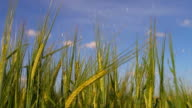 HD Barley irrigation in the early summer video